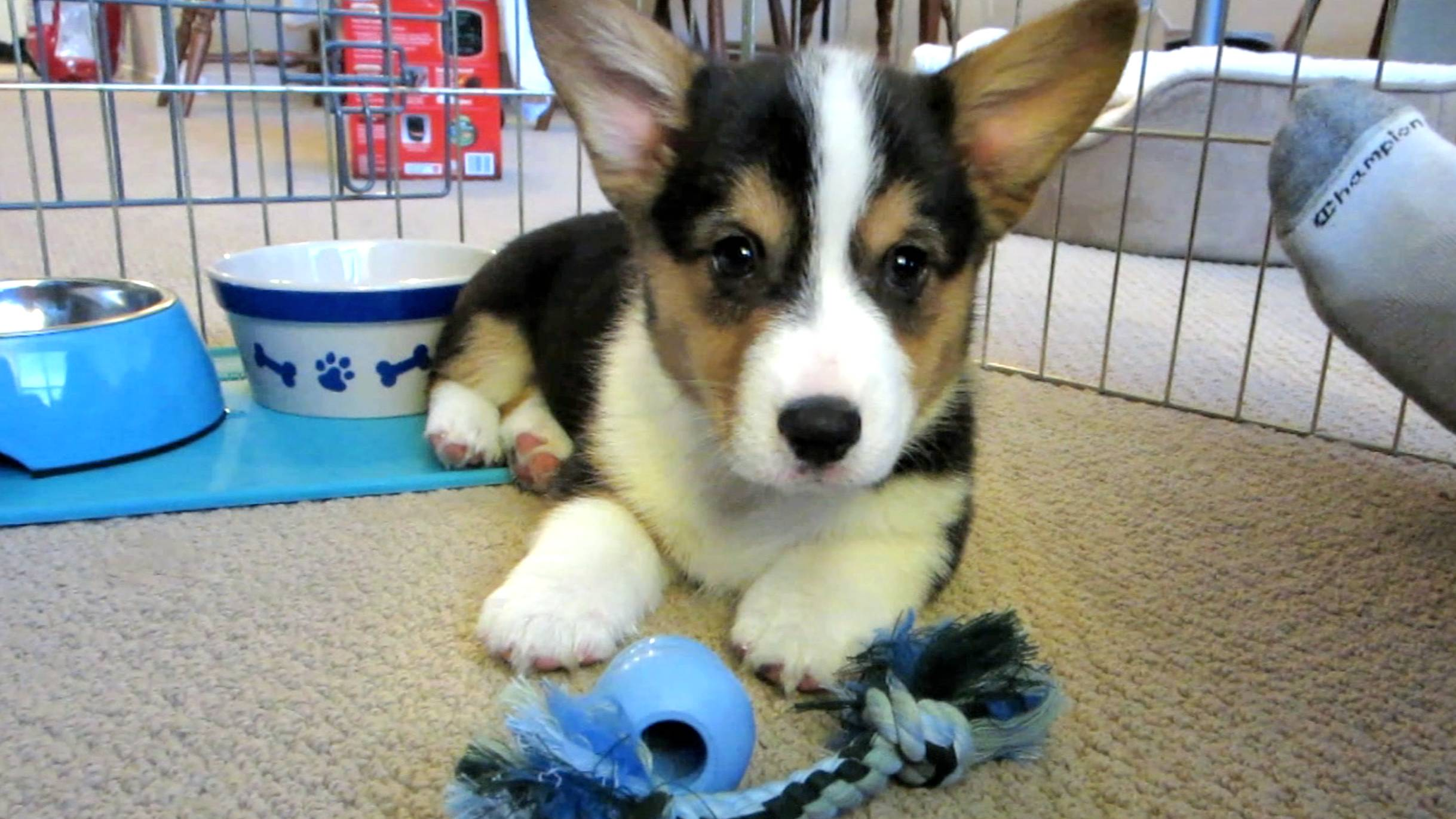 Corgi Puppy Comes Home