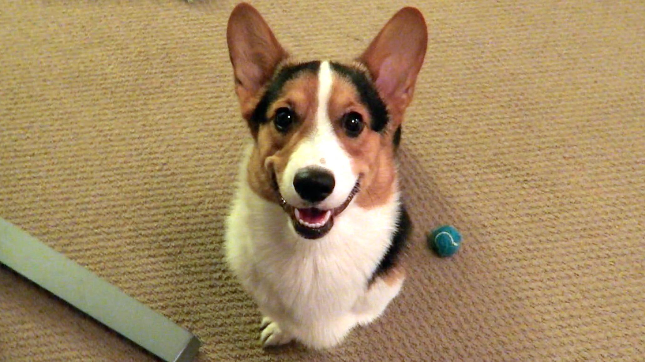 Corgi Dog Smile