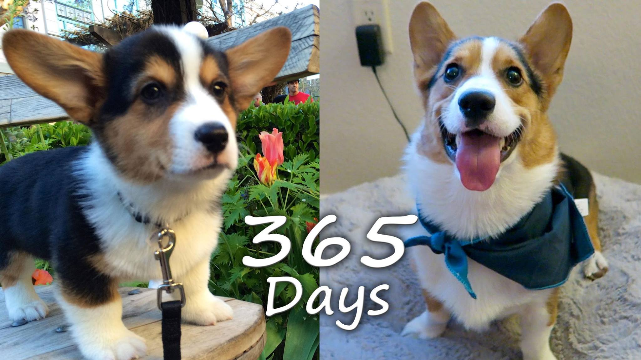 Puppyhood in 365 Days: Corgi Puppy Grows Up