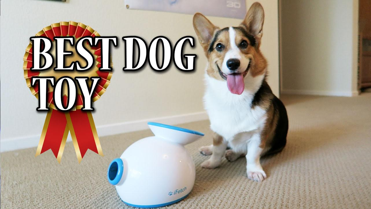 Corgi Learns to use iFETCH Ball Launcher - BEST DOG TOY