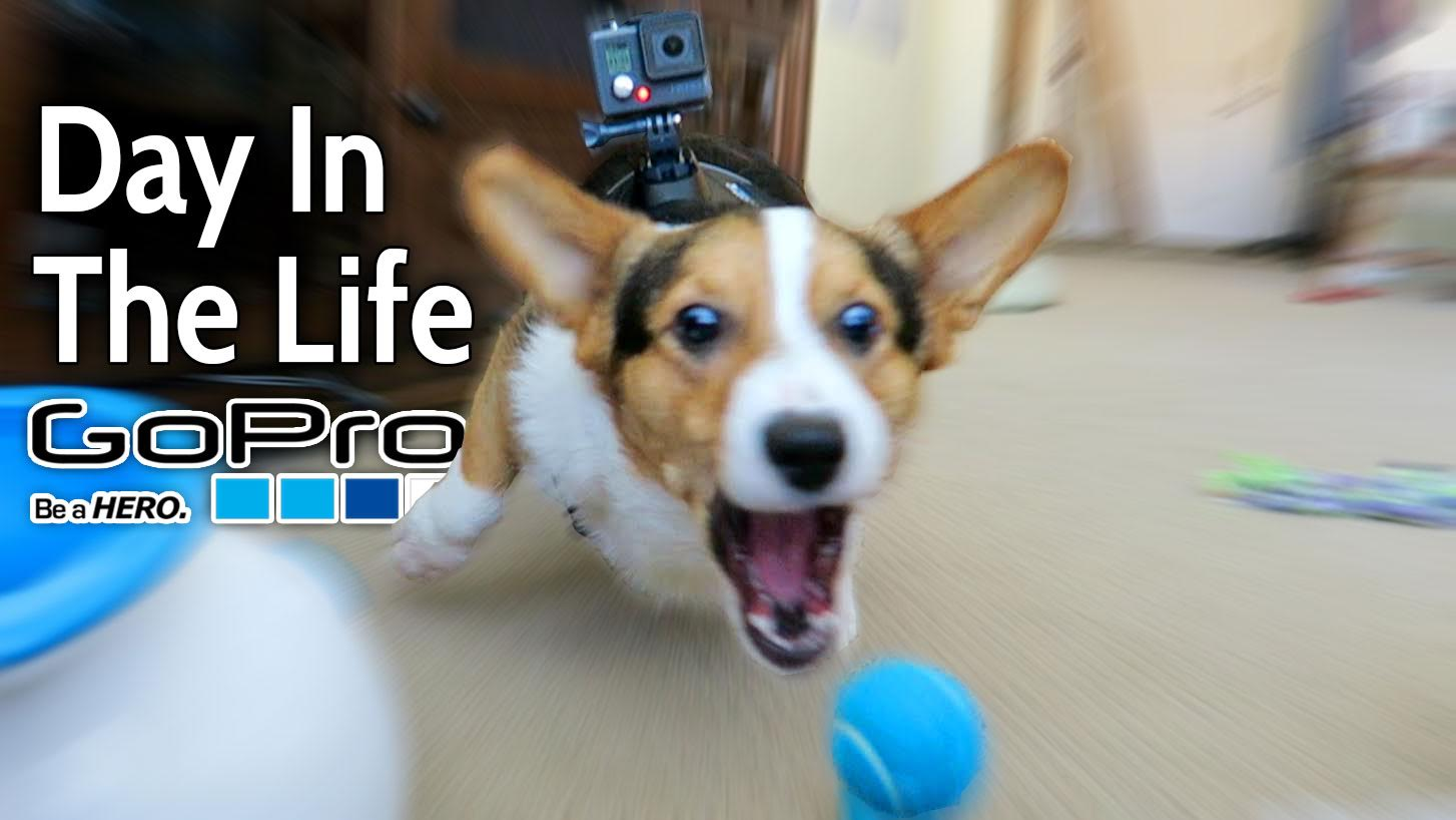 CORGI VLOGS HIS BEST DAY W/GOPRO