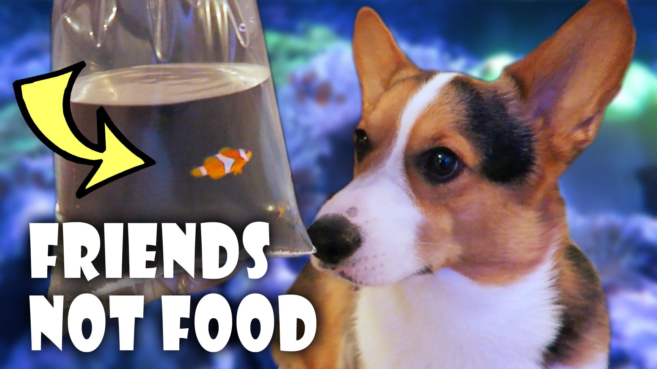 CORGI FINDS NEMO | REEF AQUARIUM SETUP