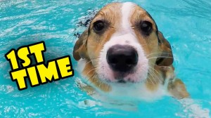CORGI TRIES SWIMMING LESSONS FOR THE 1ST TIME