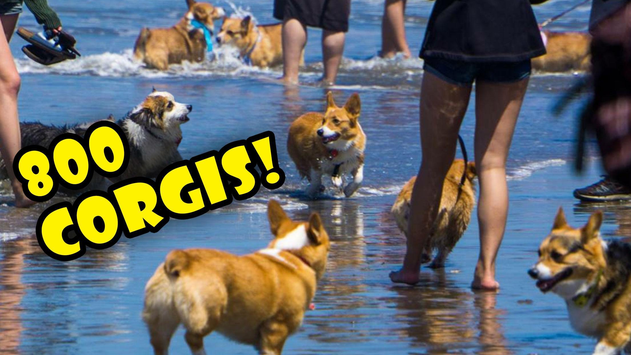 800 CORGIS ON A BEACH || FULL DAY @ CORGI CON