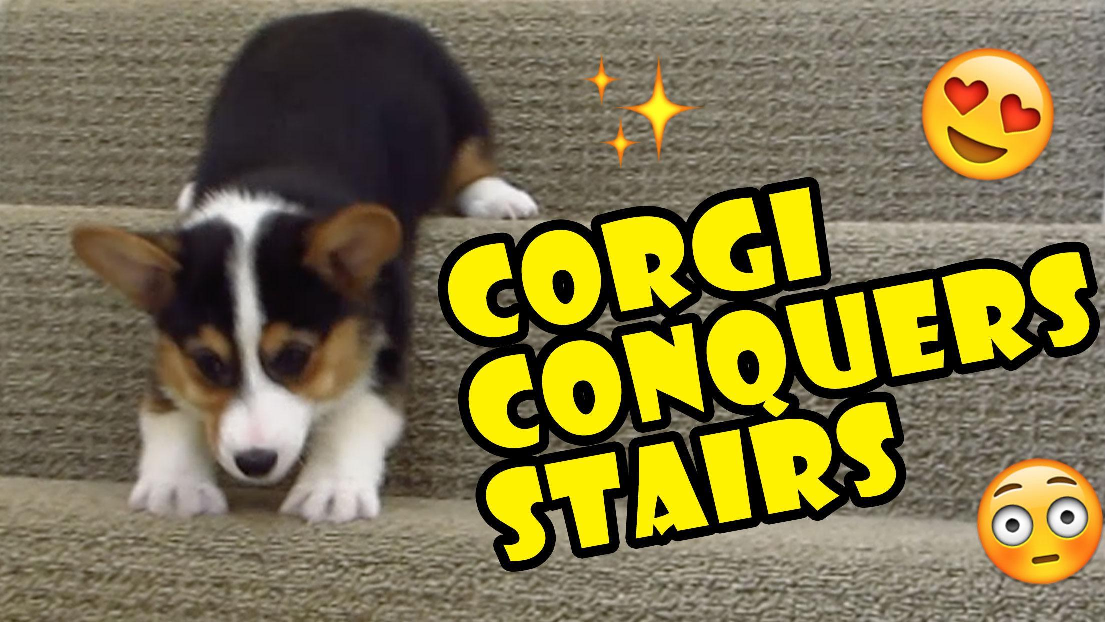 CORGI CONQUERS 163 STAIRS DESPITE SHORT LEGS