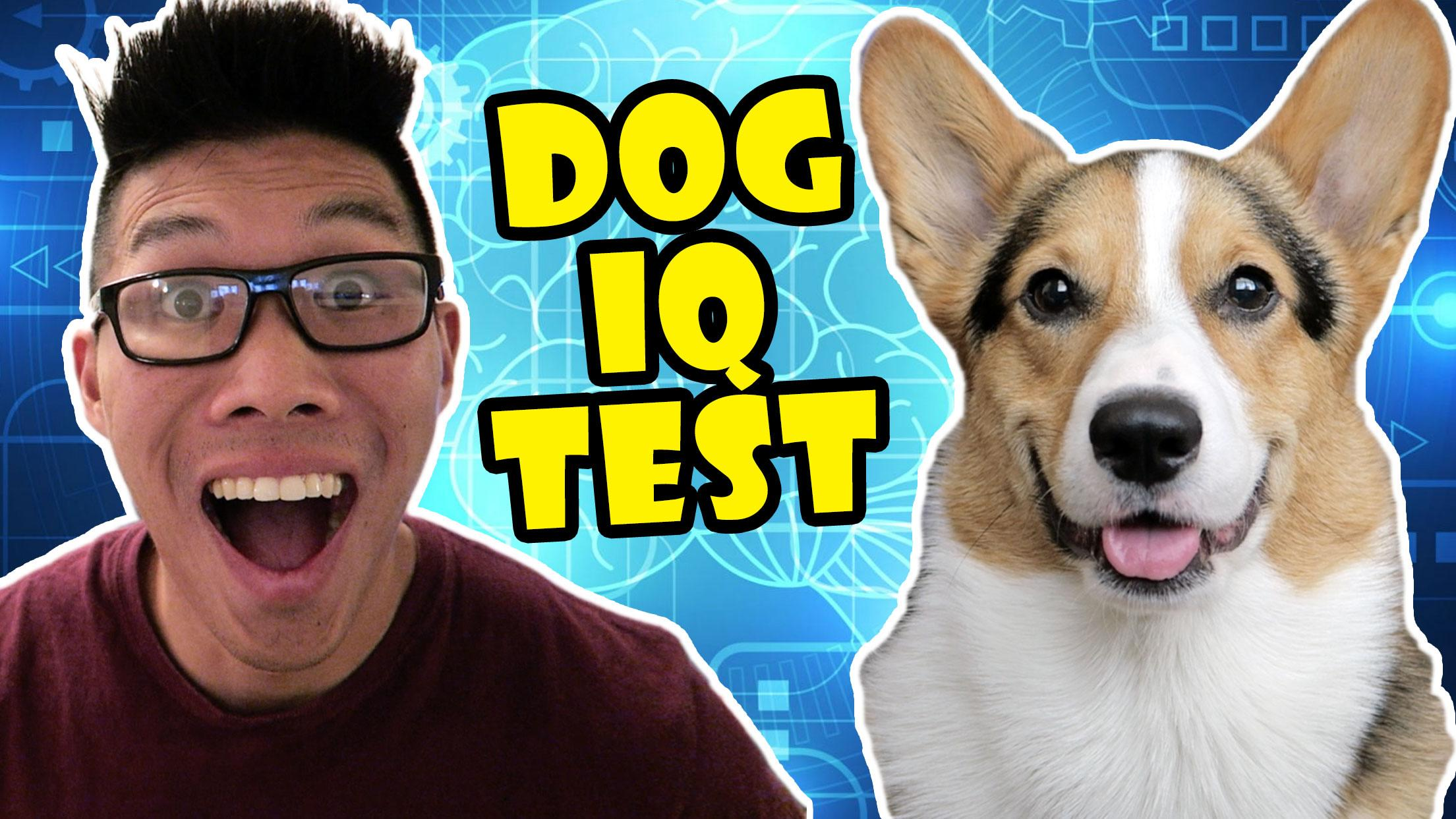 CORGI vs IQ TEST, CAN HE PASS?