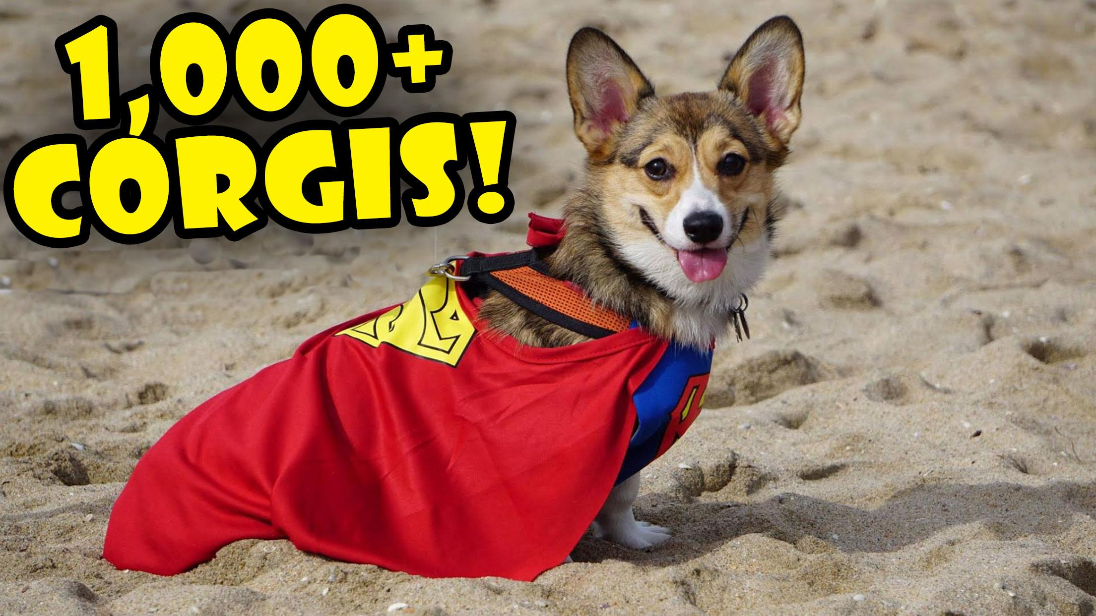 1000 CORGIS IN COSTUME - World's Largest Corgi Party!