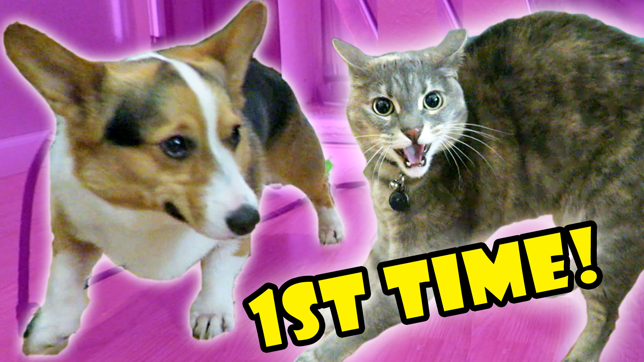 CORGI DOG MEETS CAT 1st TIME -- FAIL
