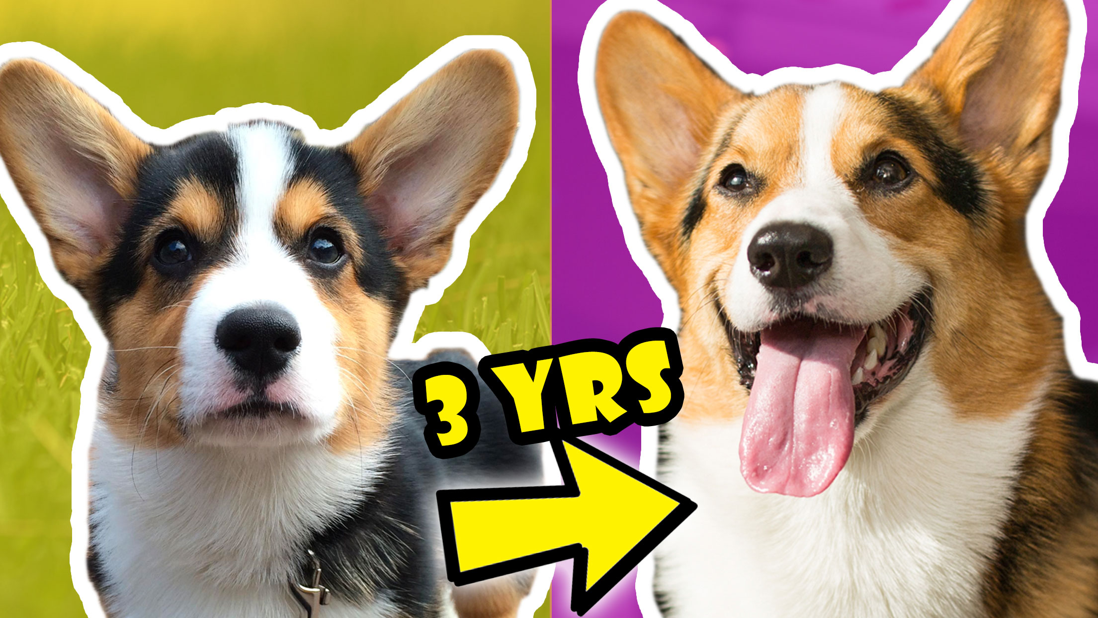 CORGI PUPPY Vs ADULT DOG COMPARISON Year 3