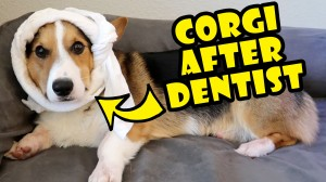 SCARIEST EXPERIENCE EVER - CORGI Root Canal Surgery