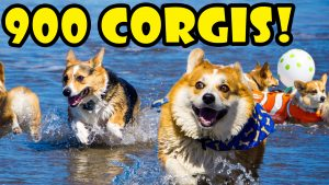 900 CORGIS ON A BEACH - FULL DAY @ CORGI CON