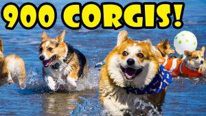 900 CORGIS ON A BEACH - FULL DAY @ CORGI CON