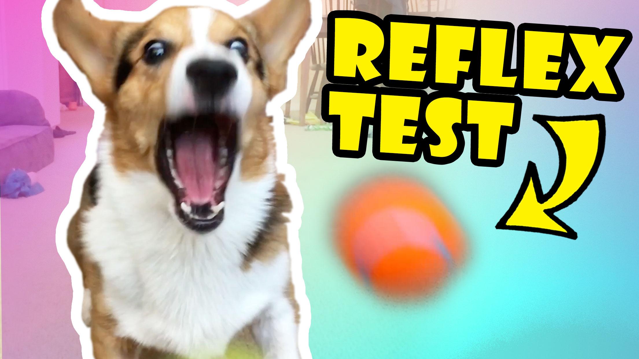 TESTING MY DOG'S REFLEXES -- Corgis FTW!